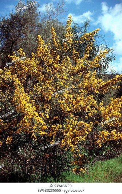 Calicotome villosa Calicotome villosa, blooming