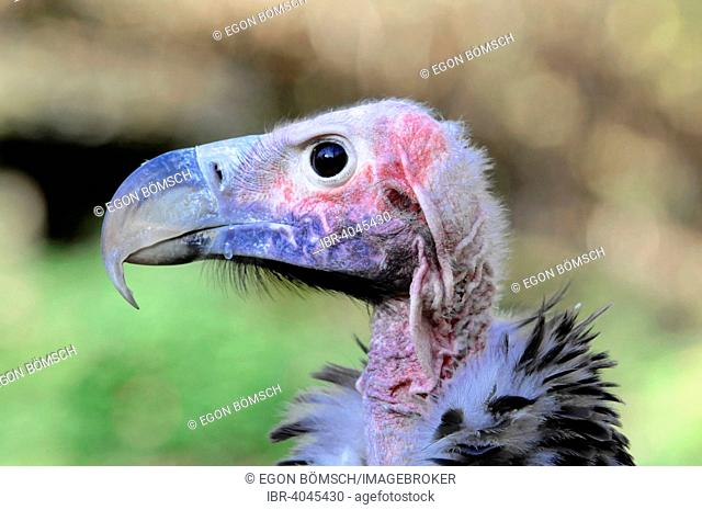 Lappet-faced Vulture (Aegypius tracheliotus syn Torgos tracheliotus), captive, Baden-Württemberg, Germany