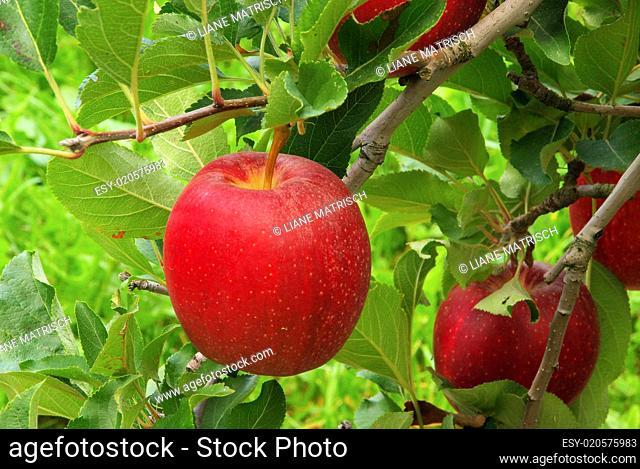 Apfel am Baum - apple on tree 04