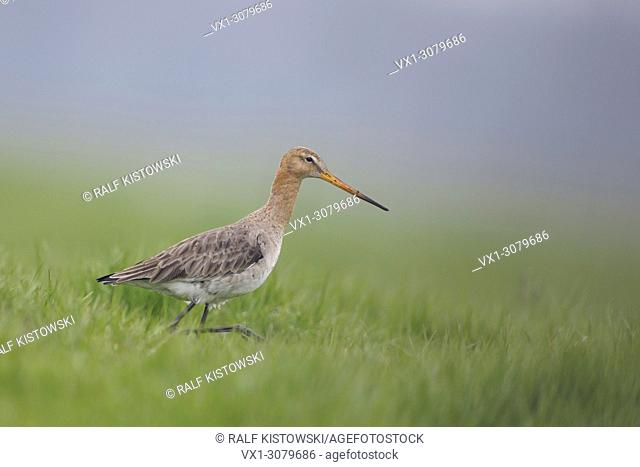 Adult Black-tailed Godwit ( Limosa limosa) in its breeding plumage searching for food on an extensive meadow, wildlife, Europe. .