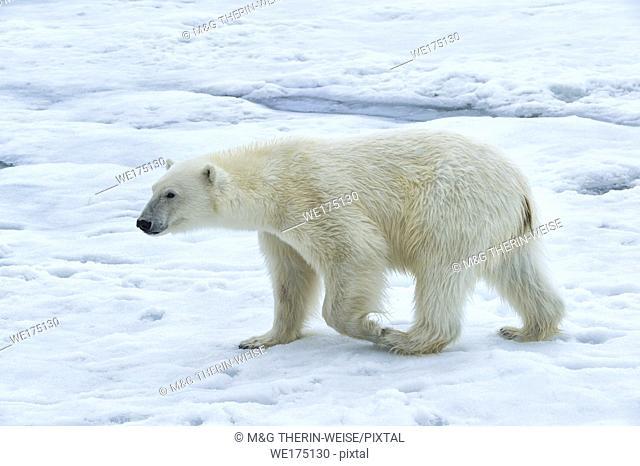 Polar Bear (Ursus maritimus) walking over pack ice, Svalbard Archipelago, Norway