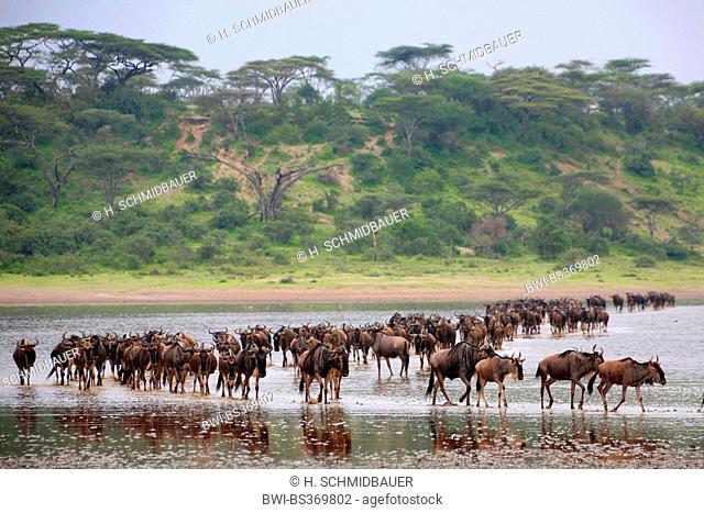 blue wildebeest, brindled gnu, white-bearded wildebeest (Connochaetes taurinus), herd of wildebeests crossing the Lake Ndutu, Tanzania, Serengeti National Park