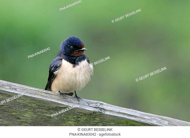 Barn Swallow Hirundo rustica - Arkemheen, Nijkerk, Veluwe, Guelders, The Netherlands, Holland, Europe