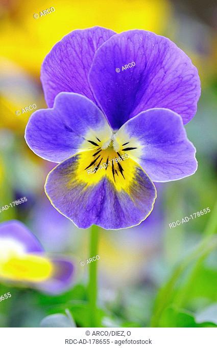 Pansy, Viola cornuta hybrid