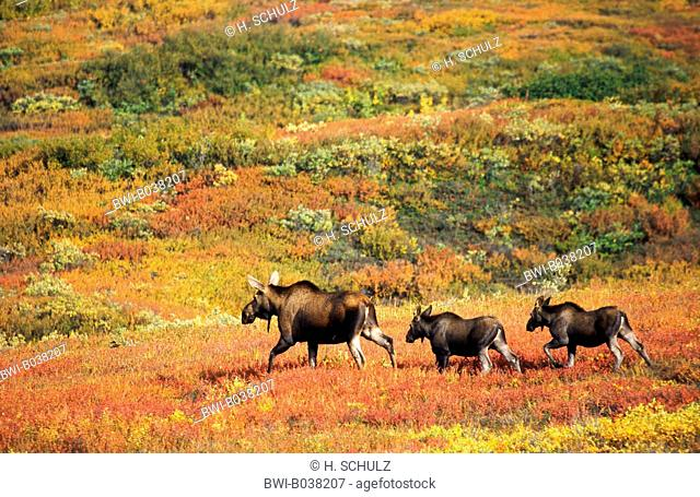 Alaska moose, Tundra moose, Yukon moose (Alces alces gigas), cow with two calfs in the autumnal tundra, USA, Alaska, Denali NP