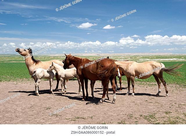 Wild horses in Badlands National Park, South Dakota, USA