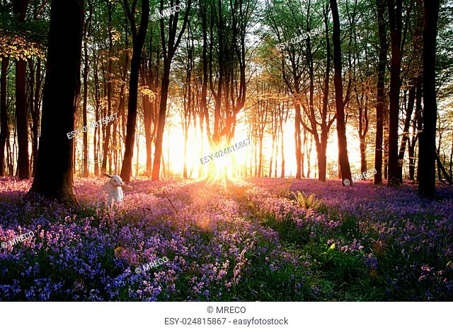Stunning bluebell woods sunrise with white rabbit