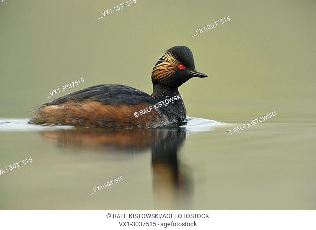 Black-necked Grebe / Eared Grebe ( Podiceps nigricollis ), adult bird, swimming in best light, wildlife, Europe
