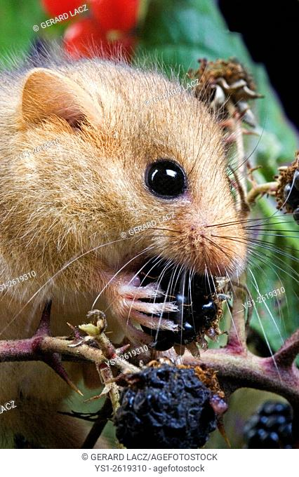 Common Dormouse, muscardinus avellanarius, Adult eating Blackberry, Normandy