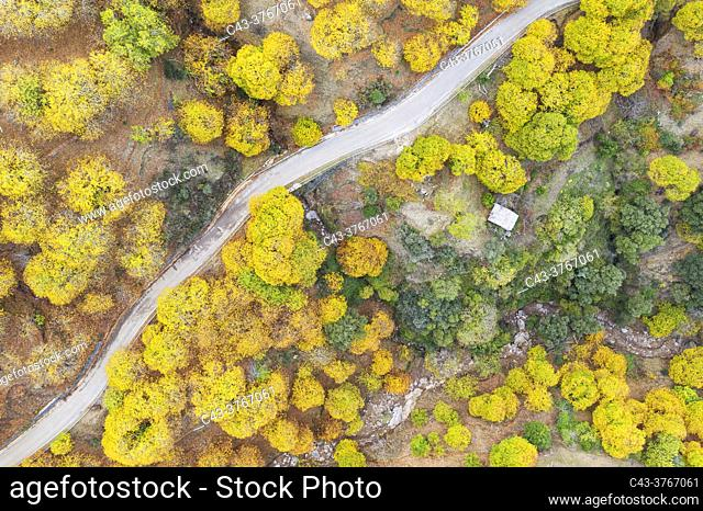 Sweet chestnut trees (Castanea sativa) in autumnal colours in November. Aerial view. Drone shot. Genal river valley, Málaga province, Andalusia, Spain