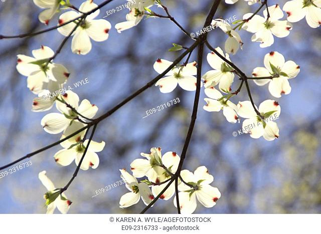 white dogwood blossoms against branches and blue sky, Monroe County, IN