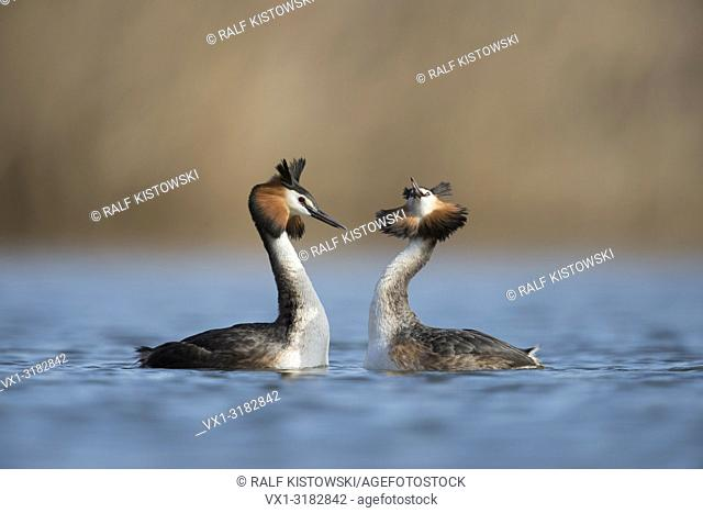 Great Crested Grebes ( Podiceps cristatus ) meet breast-to-breast, doing head-shaking ceremony as part of their courtship behaviour.