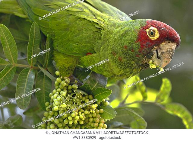 Red-masked parakeet (Psittacara erythrogenys), individual perched on the branches while feeding. lima - Perú