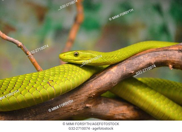 Eastern Green Mamba (Dendroaspis angusticeps), native to East Africa. Venomous