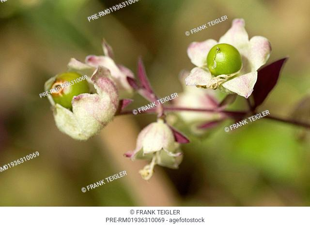 Berry Bearing Catchfly Stock Photos And Images Agefotostock