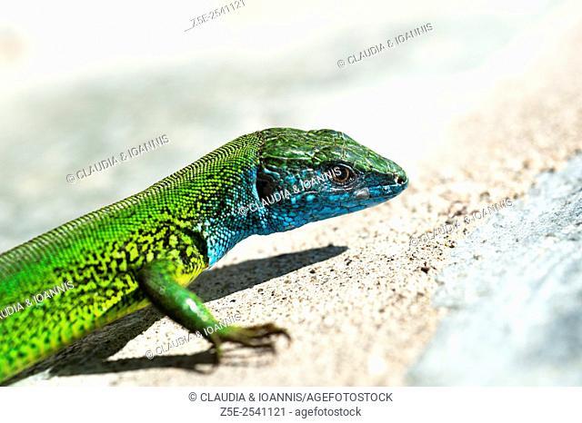 European Green Lizard (Lacerta viridis) on stone wall