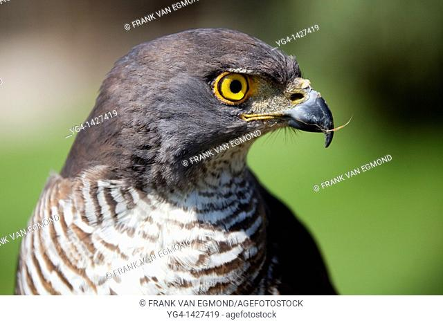 African Goshawk Accipiter tachiro  Shot under controlled conditions  October 2010  African Bird of Prey Sanctuary  Kwazulu-Natal, South Africa