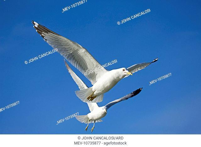 Ring-billed Gull - Adults in flight (Larus delawarensis)