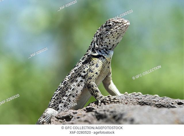Male, Lava Lizard ( (Microlophus grayii), an endemic species on Floreana Island, Galapagos Islands, Ecuador