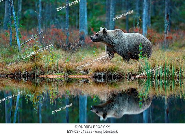 Big brown bear walking around lake