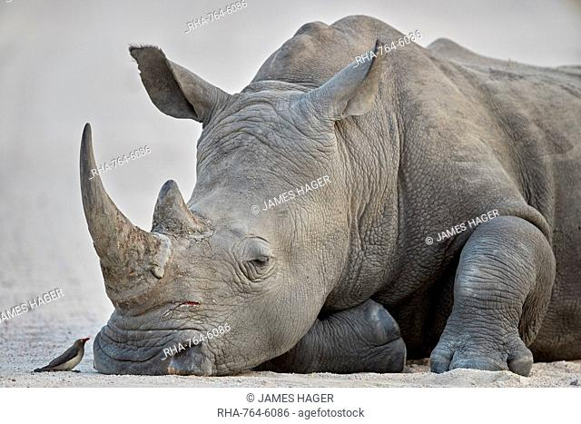 White Rhinoceros (Ceratotherium simum) and Red-billed Oxpecker (Buphagus erythrorhynchus), Kruger National Park, South Africa, Africa
