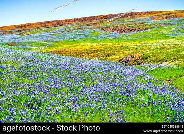 Meadow covered in Sky Lupine (Lupinus nanus) wildflowers, North Table Ecological Reserve, Oroville, California