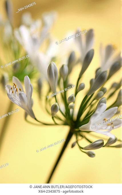 two romantic agapanthus stems, the flower of love