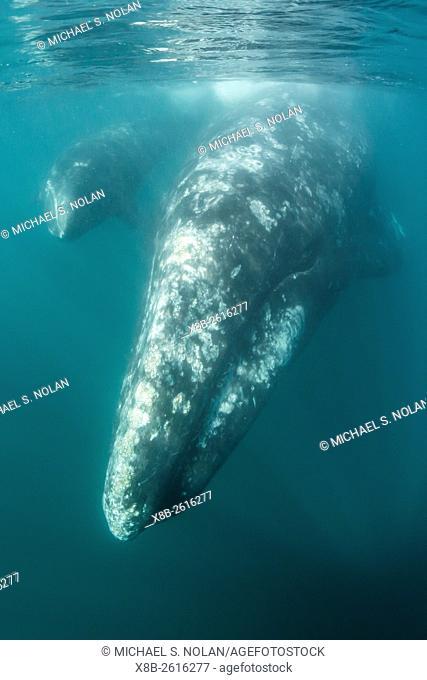 California gray whale, Eschrichtius robustus, mother and calf underwater in San Ignacio Lagoon, Baja California Sur, Mexico