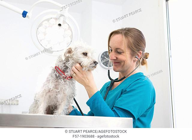 Veterinarian examines a mixed-breed Poodle/Terrier in her surgery
