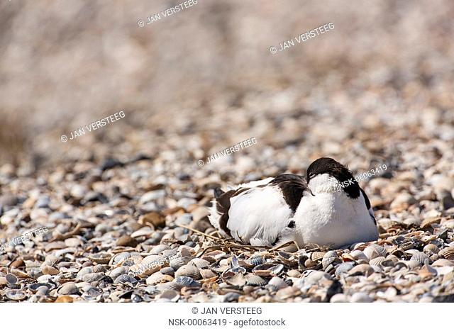 One Pied Avocet (Recurvirostra avosetta) perched on a nest on a beach of shell, the Netherlands, Noord-Holland, Wagejot