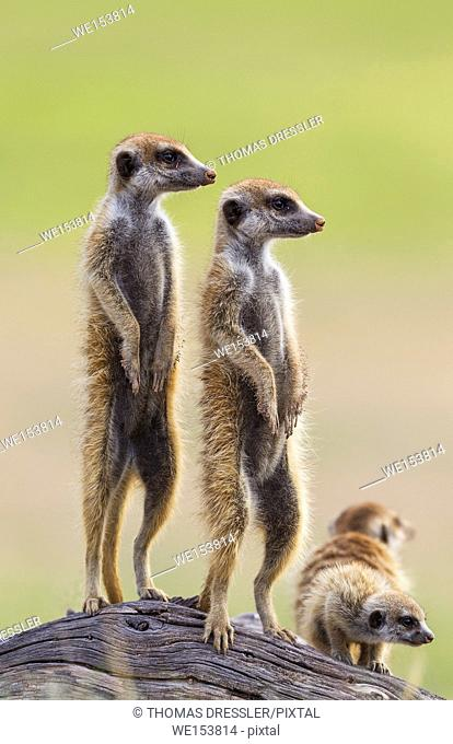 Suricate (Suricata suricatta). Also called Meerkat. Two adults with young on the lookout. During the rainy season in green surroundings