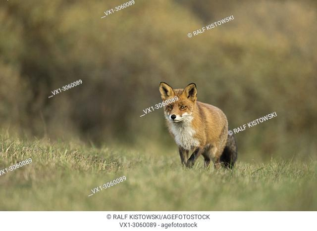 Red Fox (Vulpes vulpes) walks slowly over a meadow, along a hedge of bushes, coming closer, nice autumnal colours, wildlife, Germany, Europe