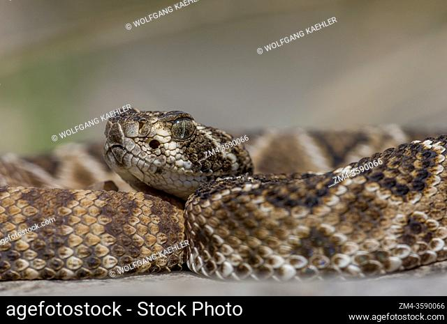 A diamondback rattlesnake in the Hill Country of Texas near Hunt, USA
