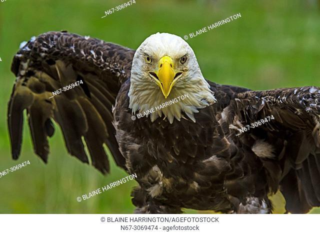Bald eagle, Nature's Educators, which cares for non releasable birds of prey, Sedalia, Colorado USA