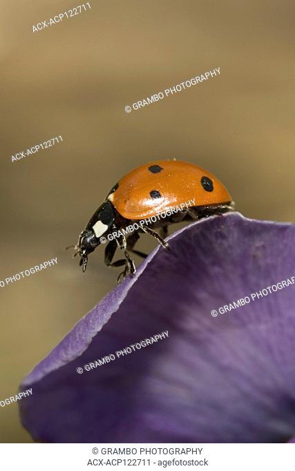 Ladybird Beetle, Coccinella semptempunctata, on pansy petal, Saskatchewan, Canada