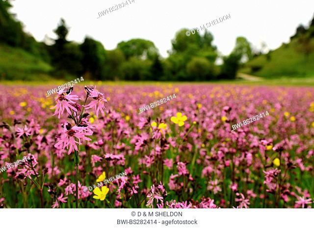 meadow campion, ragged-robin Lychnis flos-cuculi, Silene flos-cuculi, blooming in a meadow, Germany, Bavaria, Upper Palatinate