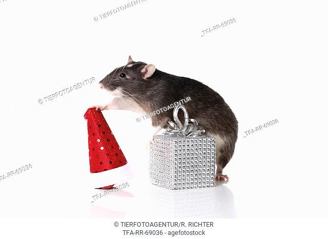 fancy rat at christmas