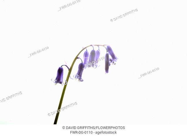 Bluebell, English bluebell, Hyacinthoides non-scripta, Single stem and pale blue flower head shown against a pure white background