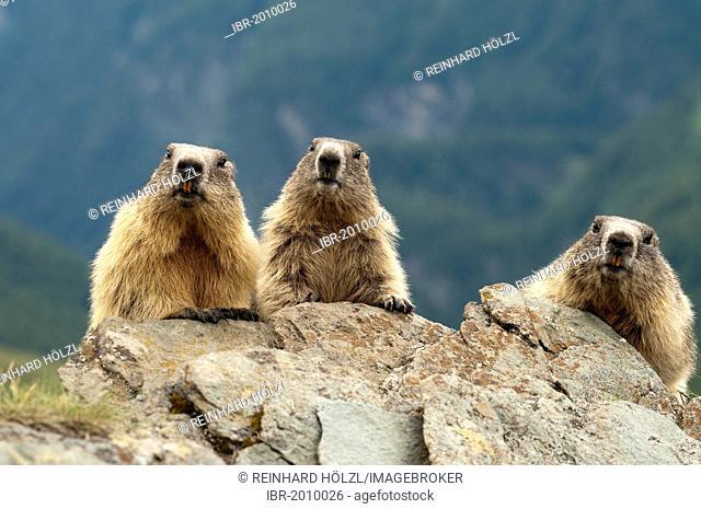 Alpine Marmots (Marmota marmota), Hohe Tauern National Park, Carinthia, Austria, Europe