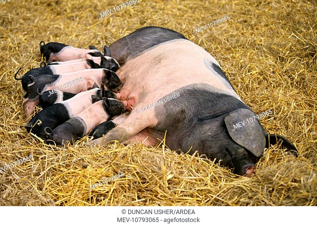 Domestic PIG - Haellisches pig, sow lying-down suckling piglets