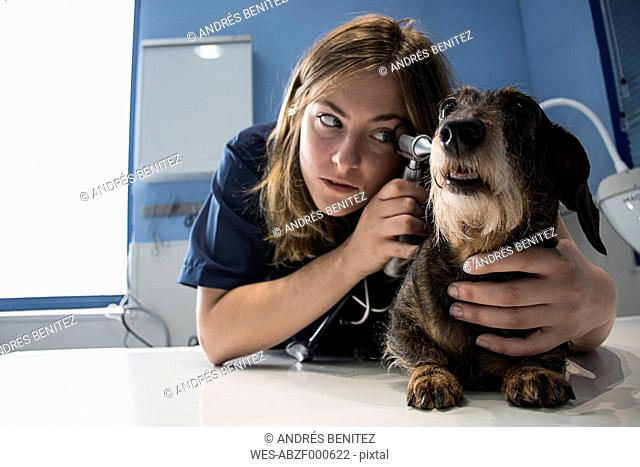 Veterinarian examining ears of a dog with an ottoscope in a veterinary clinic