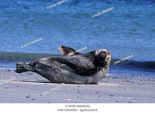 Gray seal, Halichoerus grypus, mammal, mammals, seals, one animal, animals, beach, sea, coast, nature, water, Helgolan