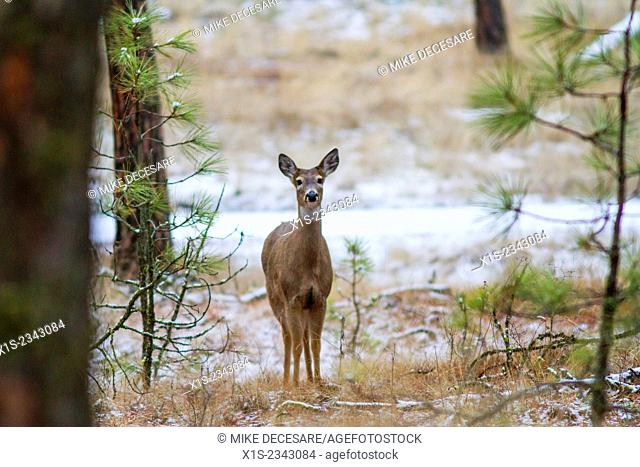 A single deer in tree cover looks directly at the camera, ears raised and on full alert