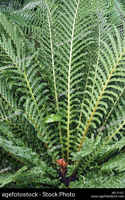 Red brazilian tree fern (Neoblechum brasiliense). Called Red dwarf tree fern also