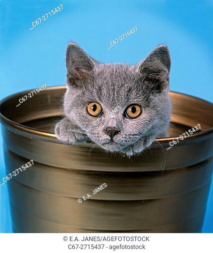 A Persian Kitten a studio portrait