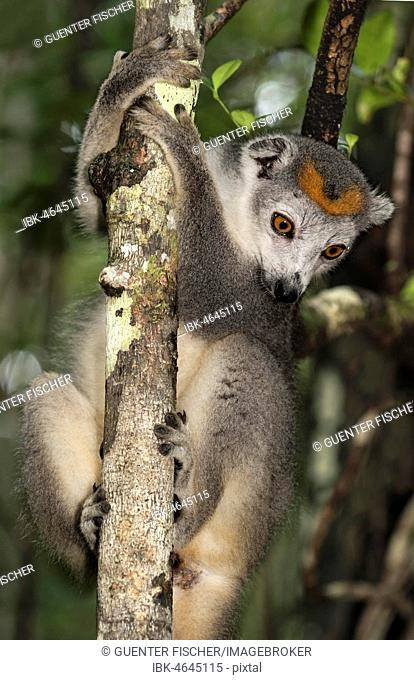 Crowned lemur (Eulemur coronatus) climbs on tree, Akanin Ny Nofy, Madagascar