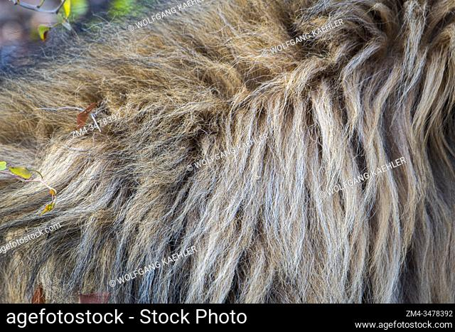 Close-up of a male lion (Panthera leo) mane in the Ongava Game Reserve, south of the Etosha National Park in northwestern Namibia
