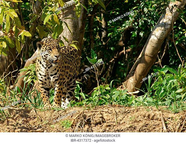 Jaguar (Panthera onca) standing on riverbank, Pantanal, Mato Grosso, Brazil
