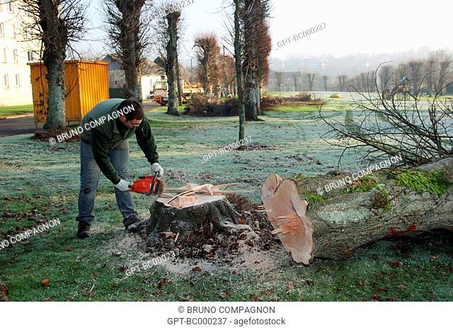 FELLING OF TREES WITH A CHAINSAW BY A TOWN WORKER RUGLES, EURE 27, HAUTE-NORMANDIE, FRANCE