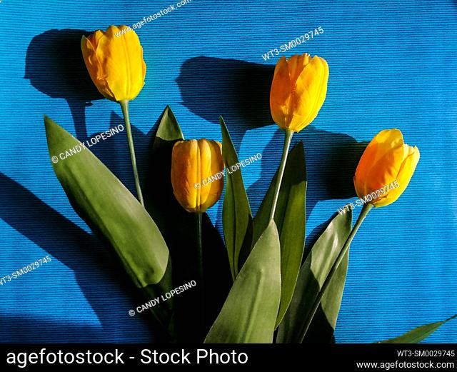 Four artificial yellow tulips on blue background